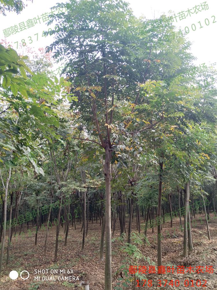 黃山欒樹12公分產品展示