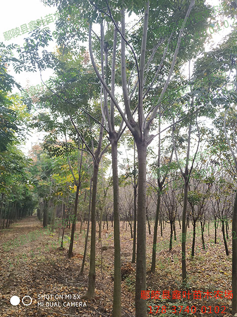 栾树11-12公分