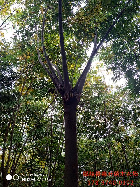 栾树13-15公分