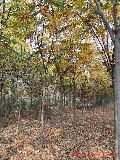 常年供应胸径6公分栾树
