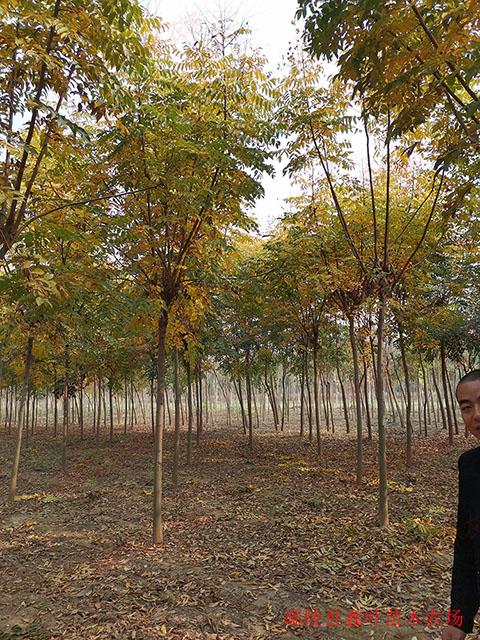 胸徑7公分欒樹