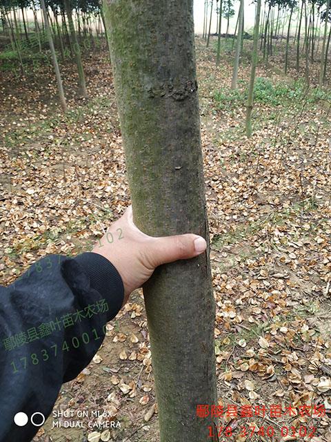 胸径6公分栾树,树干通直,无病虫害