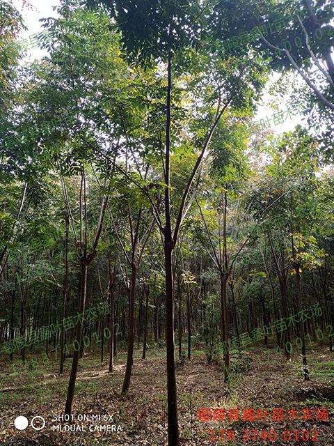 胸徑10公分黃山欒樹產品展示