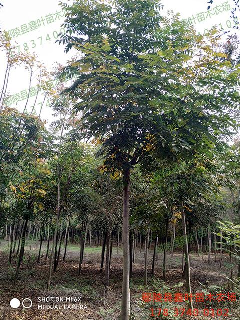 胸徑10公分欒樹產品展示