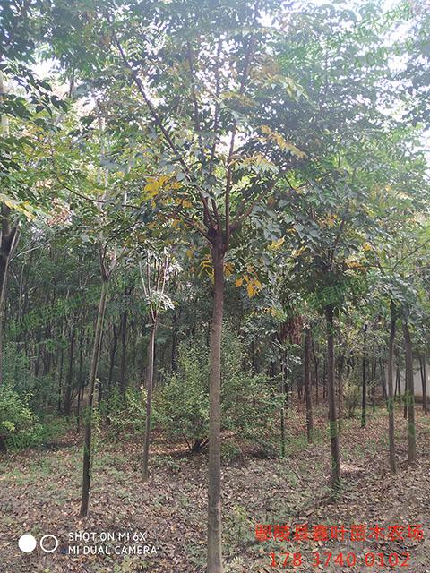 栾树8-10公分