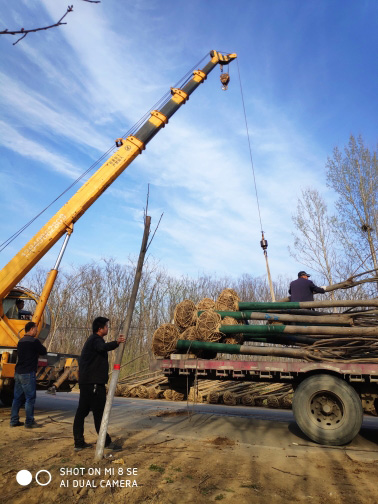 黄山栾树10-12公分发货案例图片