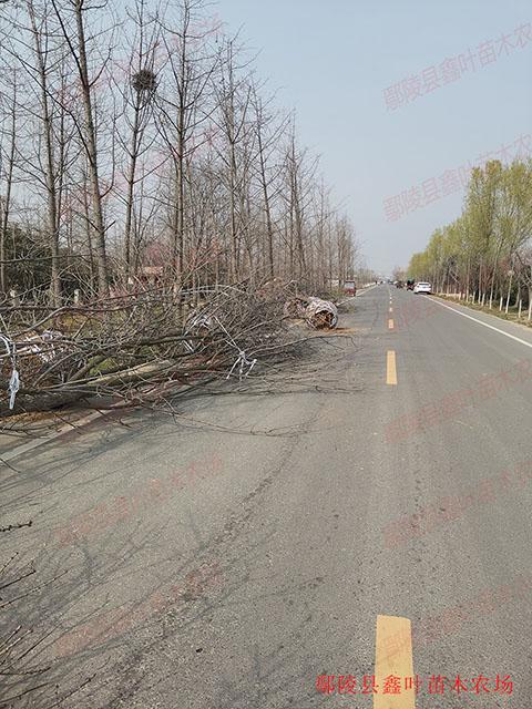 黄山栾树18-20公分发货案例图片