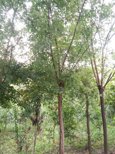 米径10公分三角枫