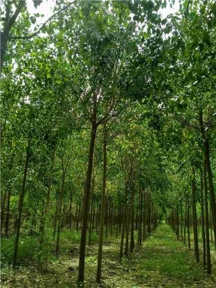 6公分絲綿木