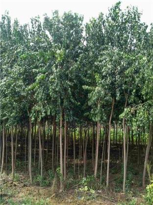 4公分絲綿木