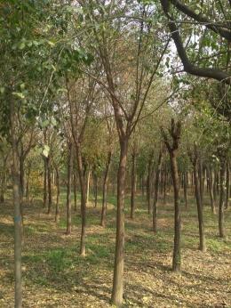 8公分絲綿木