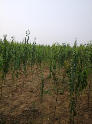1.5米高絲綿木
