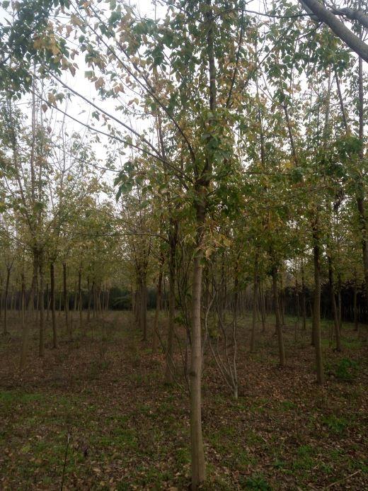 8公分金叶复叶槭