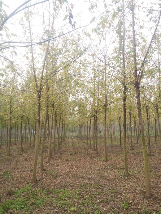 10公分金叶复叶槭