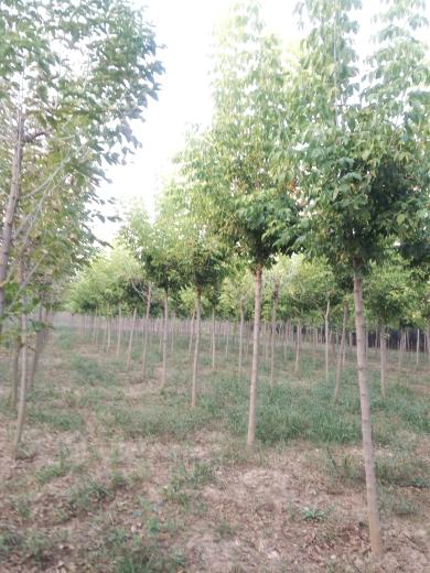 6公分金叶复叶槭