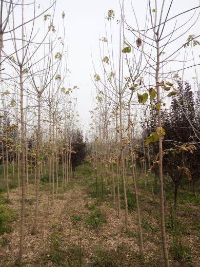 3公分金叶复叶槭
