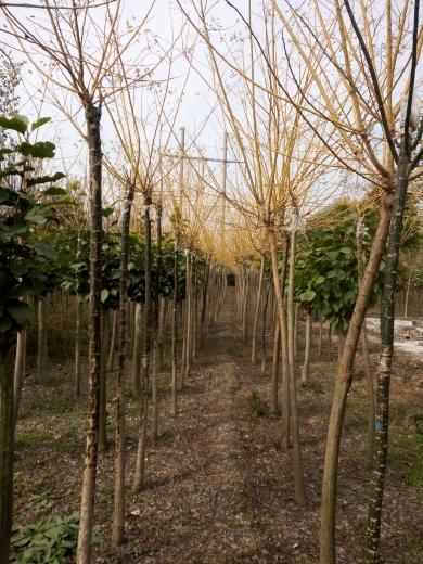 米径5公分金枝槐