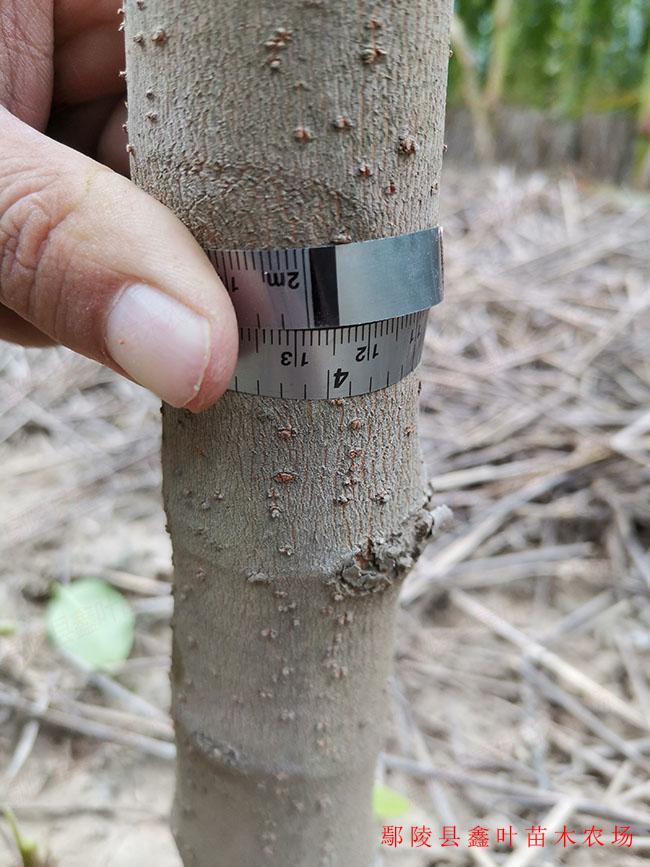 地径4公分腊梅产品展示