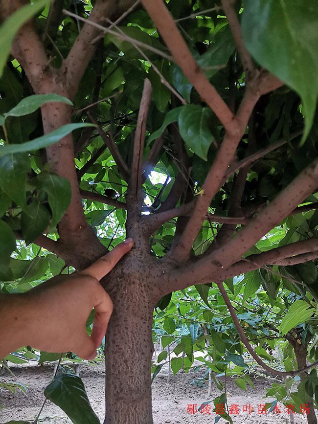 地径4公分腊梅分枝点展示